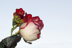 Beautiful rose and freesia Stock Photography