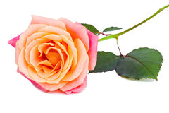 Beautiful rose Stock Photo