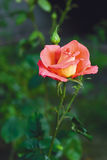 Beautiful rose on the garden Stock Photo