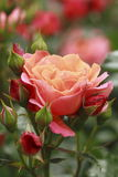 Beautiful  rose in a garden Stock Photos