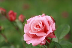 Beautiful  rose in a garden Royalty Free Stock Images