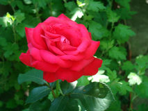 A beautiful rose in the garden. On a bed near the house in the village has grown a beautiful red rose Stock Images