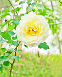 Beautiful rose Stock Image