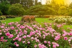 Beautiful rose garden Stock Image