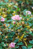 Beautiful rose in the garden. Beautiful pink rose in the garden Stock Images