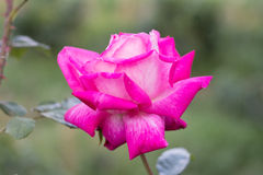 Beautiful rose in the garden. Beautiful red rose in the garden Stock Photo