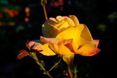Beautiful rose in the garden Stock Photos