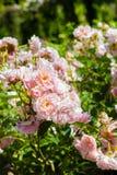 Beautiful rose garden in Summer, UK. Royalty Free Stock Image