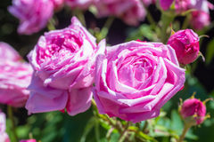 Beautiful rose garden in Summer, UK. Stock Image