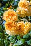 Beautiful rose garden in Summer, UK. Royalty Free Stock Photos