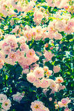 Beautiful rose garden in Summer, UK. Royalty Free Stock Photo