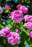 Beautiful rose garden in Summer, UK. Royalty Free Stock Photography