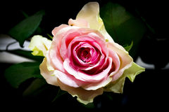 Beautiful rose Stock Images
