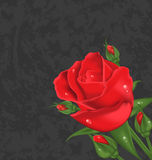 Beautiful rose  on grunge background Stock Photography