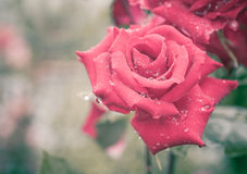 Beautiful rose in grunge style Royalty Free Stock Photos