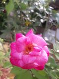 Beautiful rose. Hdr, click, best royalty free stock photo