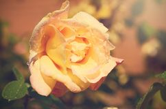 Beautiful rose head Stock Images