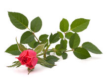 Beautiful rose Stock Image