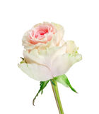 Beautiful rose Royalty Free Stock Photos