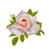 Beautiful rose isolated on white. Royalty Free Stock Image
