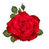 Beautiful rose isolated on white. Stock Photo