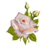 Beautiful rose isolated on white. Stock Images