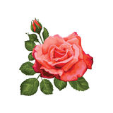 Beautiful rose isolated on white. Red rose. Perfect for background greeting cards and invitations of the wedding, birthday, Valent Royalty Free Stock Images