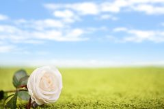 Beautiful rose on the lawn Stock Photo