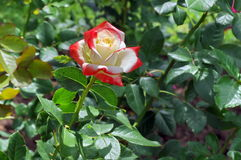 Summer background. Flower in the garden. Beautiful perfumed rose colored in white and red Stock Photo