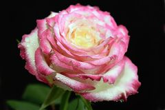 Beautiful rose in my garden in the sunshine royalty free stock photography