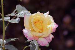 Beautiful rose in my garden in the sunshine stock photography