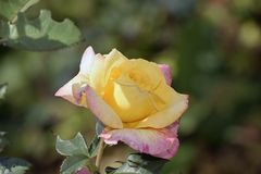 Beautiful rose in my garden in the sunshine stock image