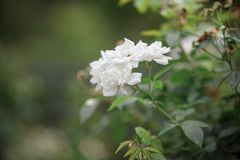 Beautiful Rose on the nature background stock photography