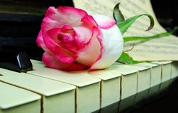 Beautiful rose on an old piano stock image