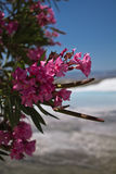 beautiful rose oleander in limestone park with hot water springs blue sky in pamukkale background Stock Image