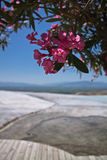 Beautiful rose oleander in limestone park with hot water springs in blue sky and wooden pathway in pamukkale Royalty Free Stock Photos