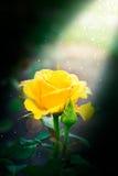 Beautiful rose outdoor Stock Image