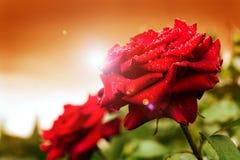 Beautiful rose outdoor Stock Photos