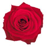 Beautiful rose over white Royalty Free Stock Images