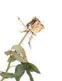 Beautiful rose painted in gold. Stock Photo