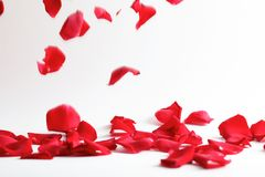 Beautiful rose petals falling royalty free stock photo