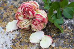 Beautiful rose pierre de ronsard wither on  the ground Stock Photography