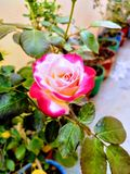 A beautiful rose royalty free stock photography