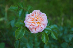Beautiful rose. Beautiful pink rose growing in the park Royalty Free Stock Photography
