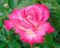 The beautiful rose-pink rose royalty free stock image