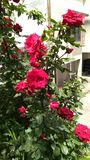 Beautiful Rose plant in-front of the building royalty free stock images