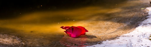 Beautiful rose in a puddle Royalty Free Stock Image