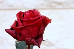 Beautiful rose. Red rose, flower Stock Photo