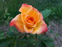 Beautiful rose. Rosa damascena. Red and yellow colores of petals. Spring flowers in may Stock Photos