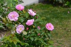 Beautiful Rose Sarah Van Fleet royalty free stock photos